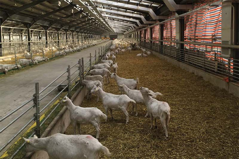 Feihe goat farm, set to expand from 2,500 to 70,000 goats in one year.