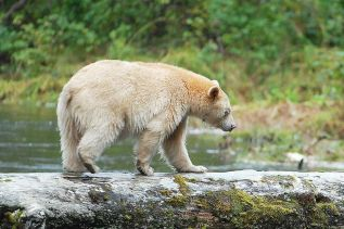 The Kermode bear, or spirit bear, owes its white coat to a genetic oddity, not to albinism. Photo/Gray Merriam