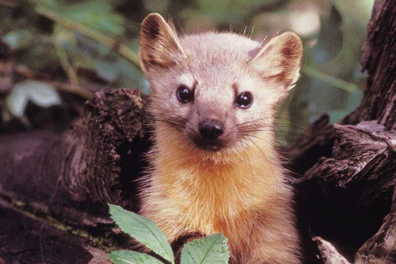 Frontenac News Mink Weasel Or Marten