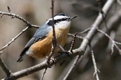 Photo: Red Breasted Nuthatch by Matt MacGillivray