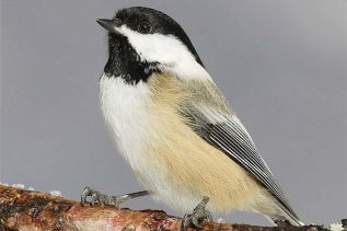 Black-Capped Chickadee, one of the most common birds normally tallied during local Christmas Bird Counts.